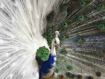 half-albino-peacock