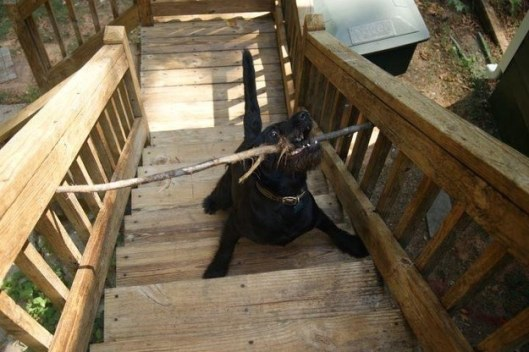 dog-with-stick-having-trouble-getting-up-stairs